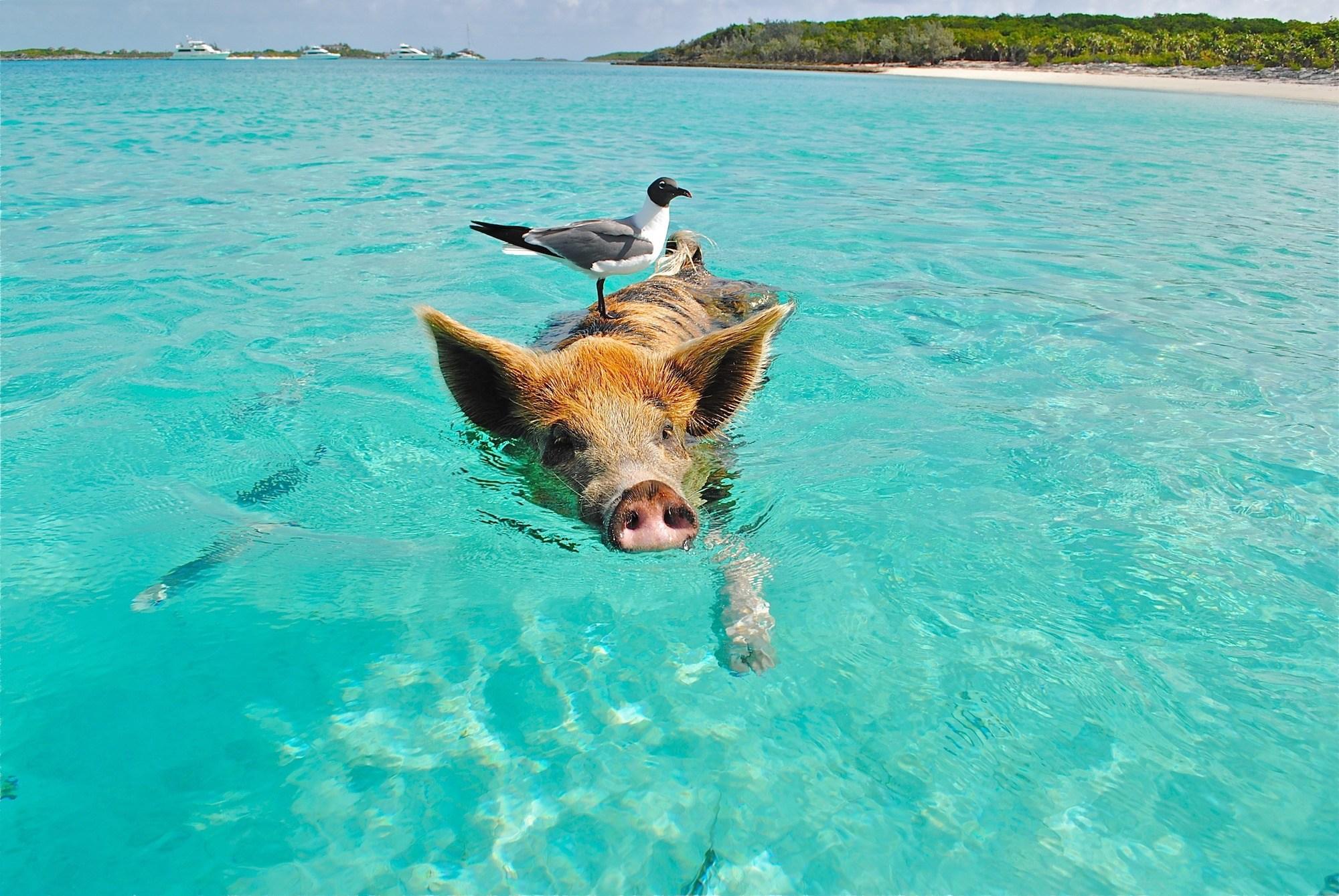 Bahamas Pigs