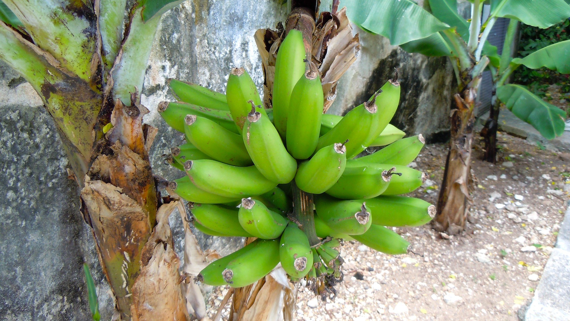Bermuda Plantains