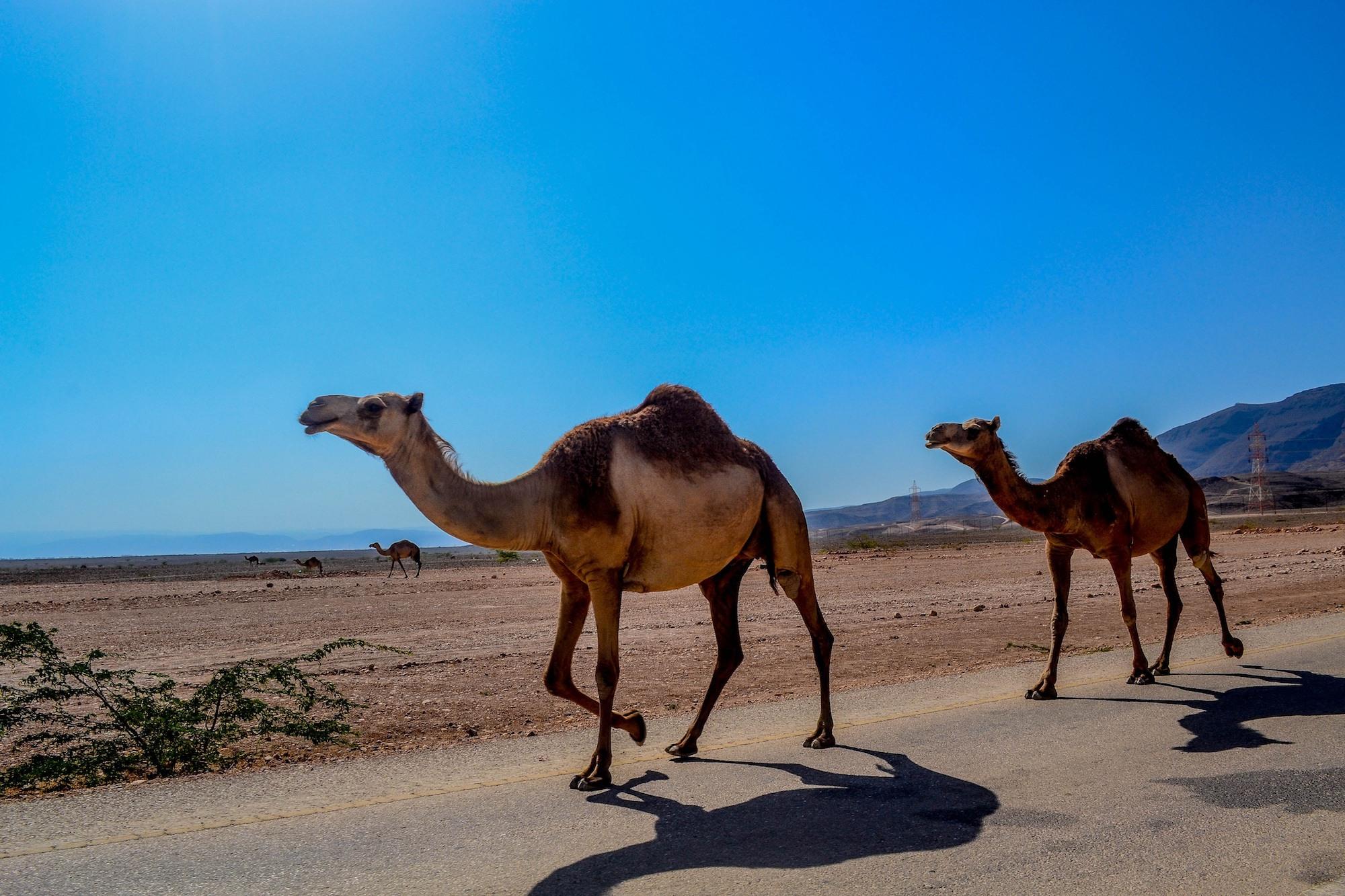 Oman Camels