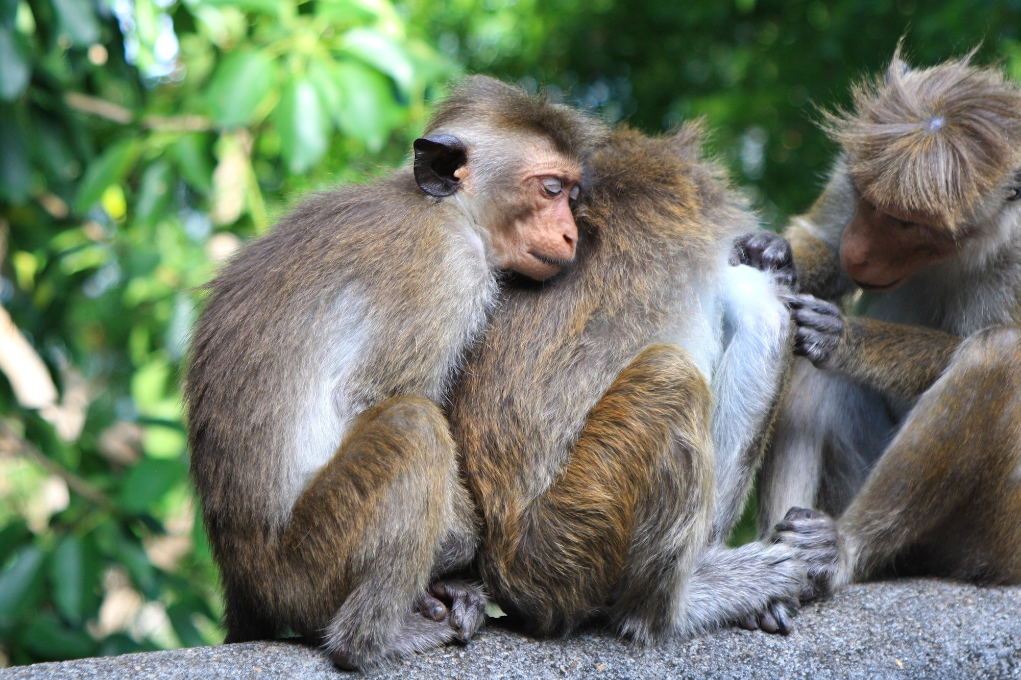 Sri Lanka Monkeys