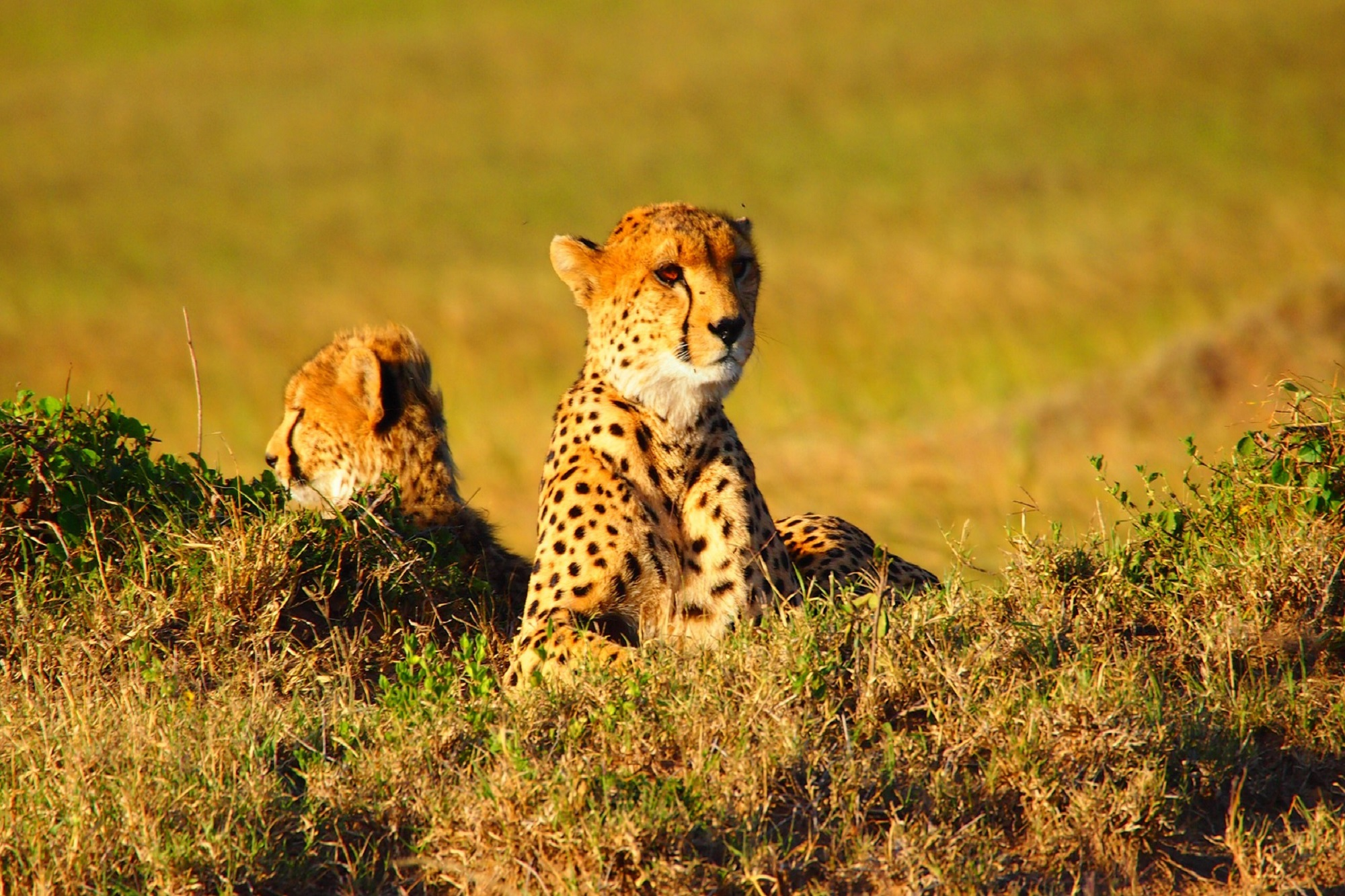 cheetah-737417_1920