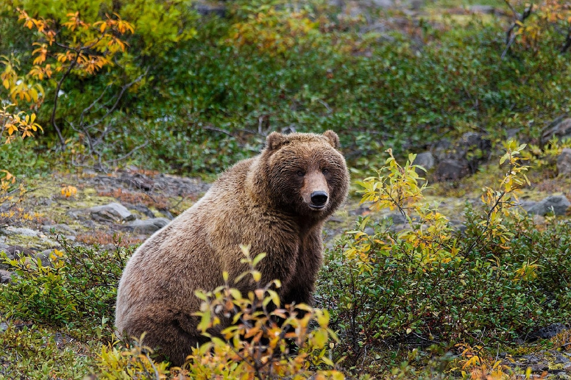 grizzly-bear-861962_1280