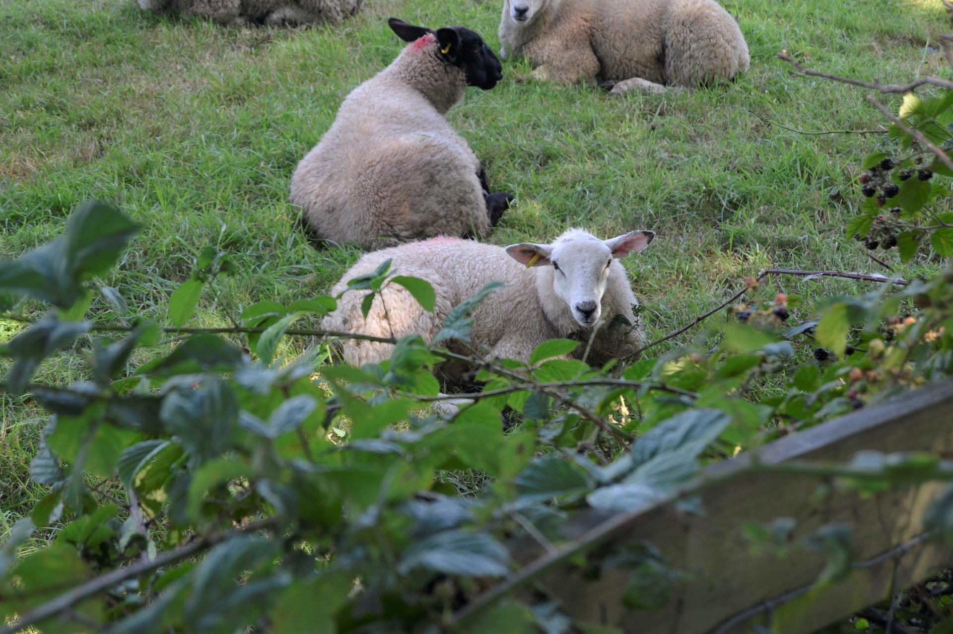 sheep-5503849_1920