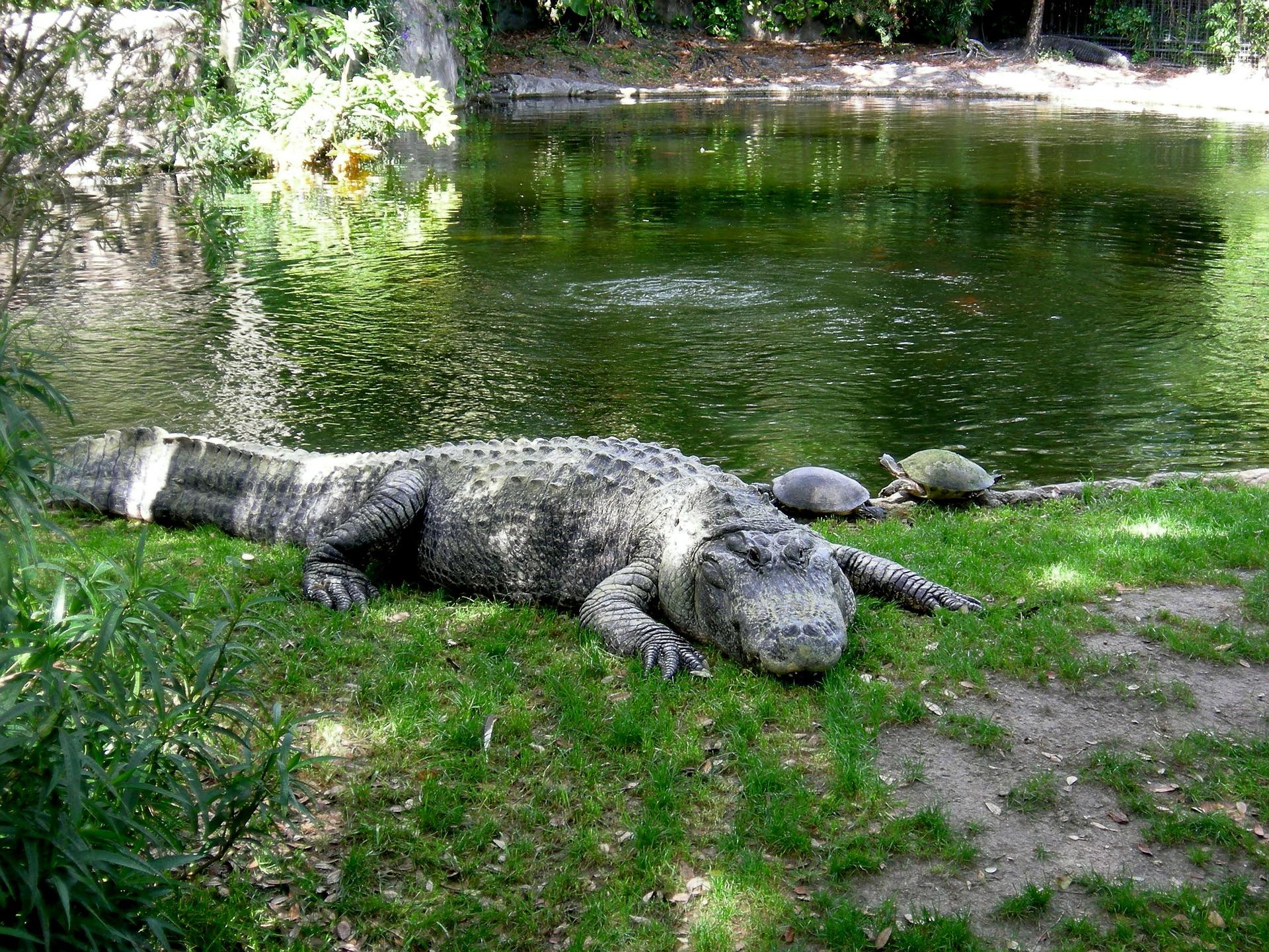 aligator-202383_1920